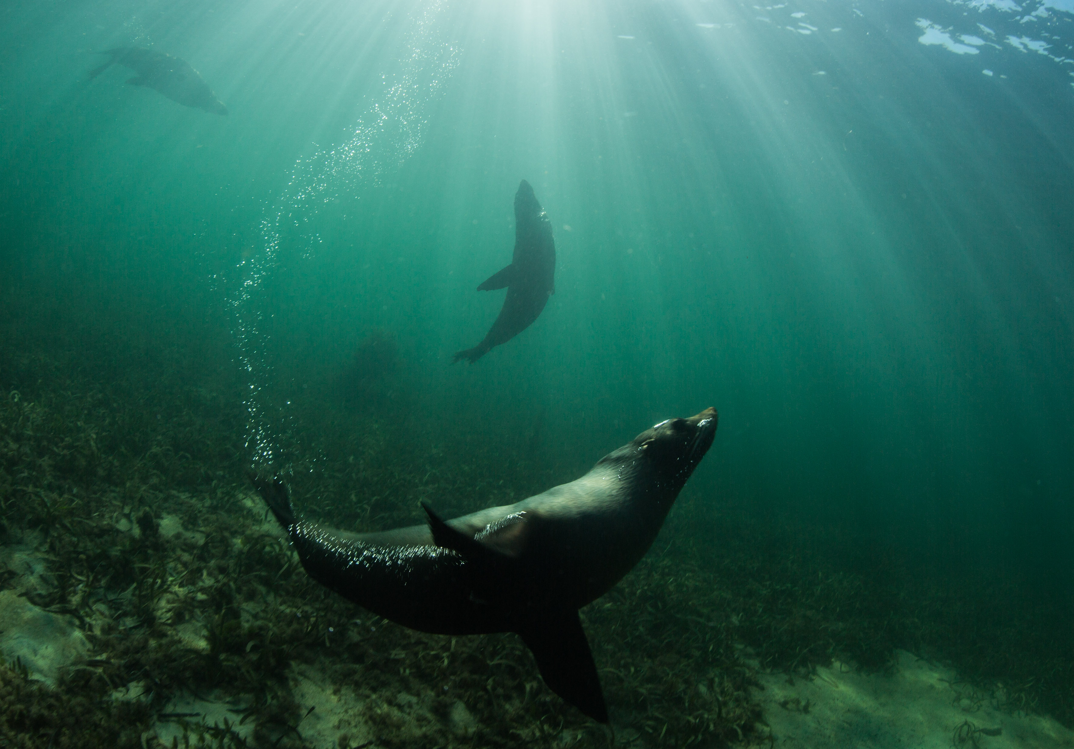 Australian Fur Seals at Kingscote Jetty, Kangaroo Island, South Australia. Photo: Richard Wylie